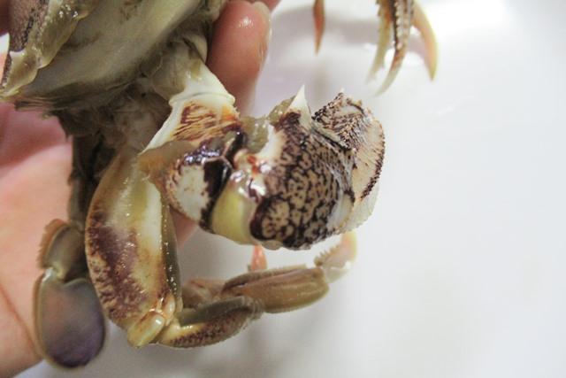 ヒラヅメカニ 丸ガ二 丸蟹